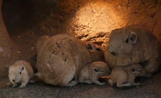 Gundi ovat afrikkalainen jyrsijä. Kaksi gundi-lauman naaraista sai poikasia huhtikuun kahden ensimmäisen viikon aikana.
