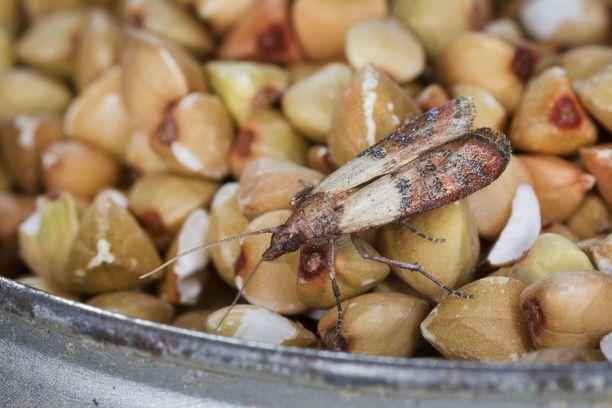 Keittiökoisa on Suomessa tuonninvarainen tuholainen, joka tulee kotiin tyypillisesti ulkomaisten kuivatuotteiden, kuten pähkinöiden, mukana.