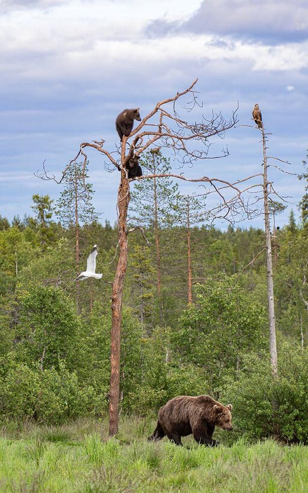 Karhuemo, pennut ja linnut on ikuistettu Kuusamossa.
