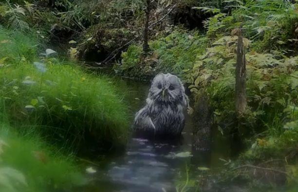 Keskisuomalainen viirupöllö on mieltynyt vuosittaiseen purokylpyyn.