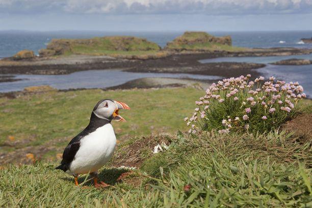 Pohjoisessa Skotlannissa, kuten esimerkiksi Orkney-saarilla, asuu lunneja.