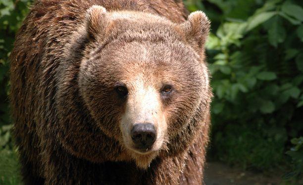 Karhu ei arvostanut haaskalle eksynyttä mustikanpoimijaa.