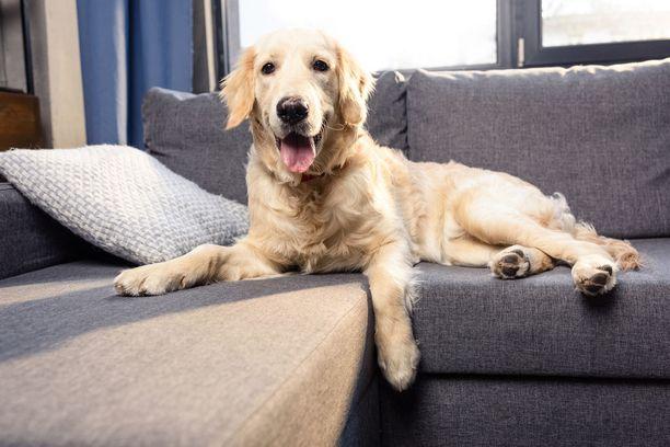 Koiran- ja kissankarvat suorastaan jämähtävät tekstiileihin. Jos eläimet saavat hyppiä huonekaluille, sohva kannattaa imuroida ennen vieraiden tuloa.