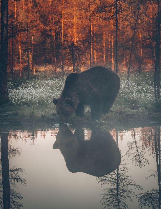 Karhun juomahetki tallentui aamuyön tunteina.