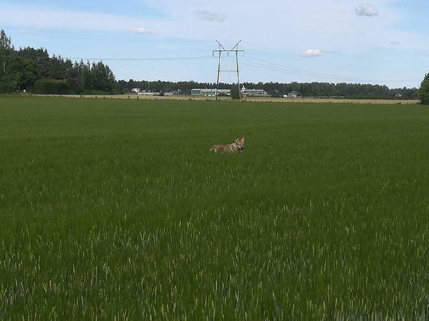 Suden ja koiran erottaminen toisistaan on varsinkin kaukaa otetuissa kuvissa toisinaan mahdotonta. Esimerkiksi tästä Eurassa otetusta kuvasta ei pysty varmuudella sanomaan, kumpi eläin siinä on. Asiantuntijat ovat Luonnonvarakeskuksen tutkimusteknikon Antti Härkälän mukaan kallistuneet tässä kuvassa enemmän siihen, että kuvassa on koira.