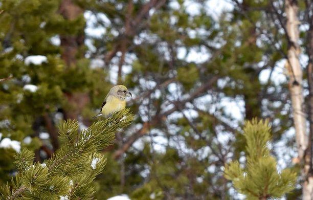 Isokäpylintu on veikän näköinen ilmestys, jota sanotaan Pohjolan papukaijaksi. Naaras on juhla-asussaan vihertävä, koiras kirkkaanpunainen. Pikku- ja kirjosiipikäpylinnuista sen erottaa jykevämpi nokka.