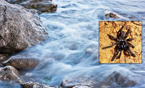 43-vuotiaaksi elänyt hämähäkkimummo (pienessä kuvassa) eli 15 vuotta vanhemmaksi kuin seuraavaksi pitkäikäisin yksilö, 28-vuotiaana kuollut meksikolainen lintuhämähäkki eli tarantula.