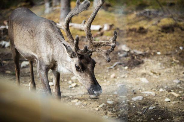 Professori Heinosen mukaan Suomen arvo tulevaisuudessa syntyy perifeerisyydestä, puhtaasta luonnosta ja vakaudesta. Kuvassa on metsäpeura Seitsemisen kansallispuiston lähellä.