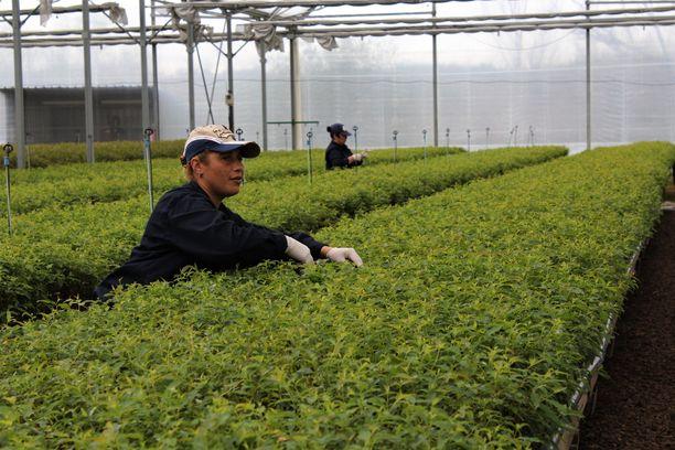 Taimitarhan työntekijät leikkaavat emokasveista versoja, joista kasvatetaan klooneja.