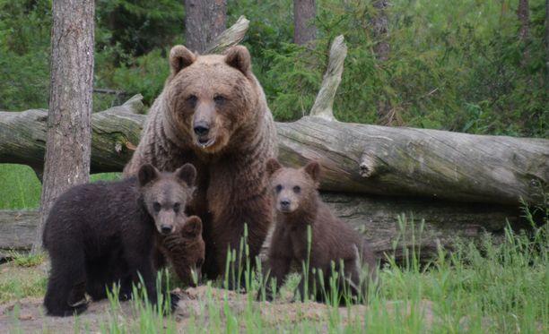 Karhuperhe asettautui oikeaoppiseen perhekuvaan bongareiden suureksi iloksi.