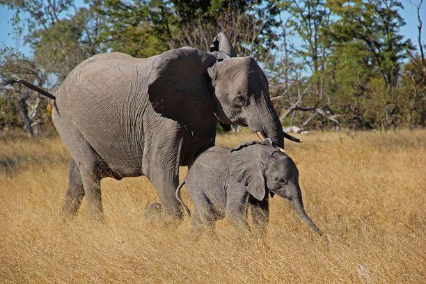 Botswanan Moremissa voi ihastella vaikkapa norsuja.