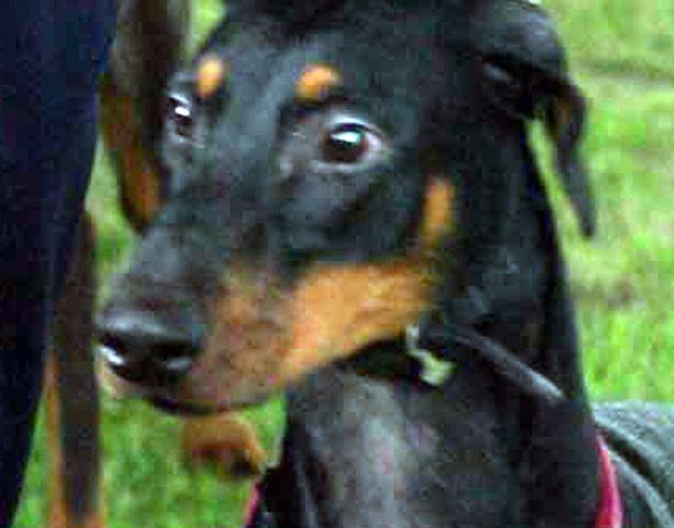 UHKAAVA SUOJELIJA Suojelukoirana tunnettu dobermanni tulee kouluttaa siten, että sen ärsytyskynnys olisi mahdollisimman korkea. Kuvan koira ei liity tapahtumaan.