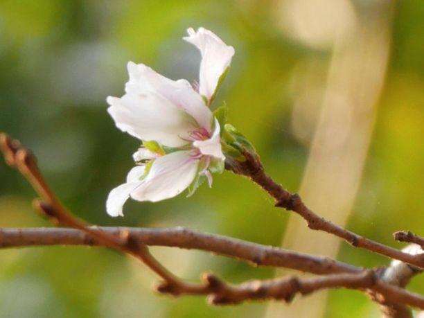 Kirsikkapuut ovat poikkeuksellisesti kukassa Japanissa. Kuva on Meguro-joen varrelta Tokiosta.