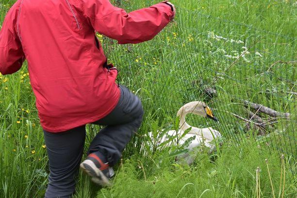 Anne Hirvonen kantoi toisen emon lammelle.