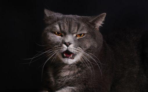 Jos kissa on vihainen jurottaja, omistajan on syytä katsoa peiliin - katti voi omaksua ihmisensä piirteitä