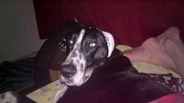 Gusti on erittäin ihmisläheinen koira.