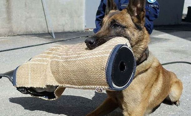Poliisikoira Börje pelasti poliisit loukkaantumiselta, mutta sai itse pahat vammat. Nyt koira on jo toipunut ja palannut takaisin työtehtäviin.