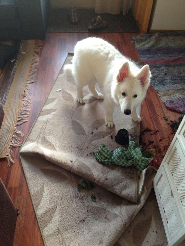 Aten koiralla on ilmeisesti samanlainen ongelma, tai sitten isäntä on päässyt yllättämään harmillisesti juuri kesken puutarhurin hommien.