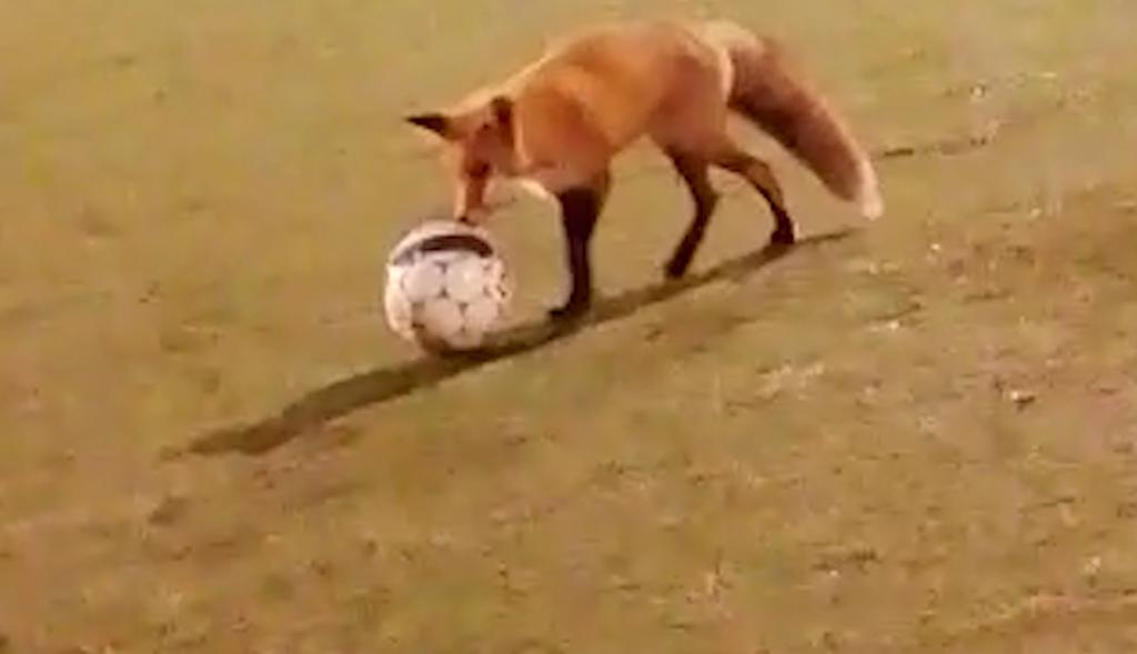 """Kettu yllätti kaveriporukan futiskentällä Turussa: metsien Maradonan tähtihetki tallentui videolle – """"Erikoista nähdä eläimen käyttäytyvän noin"""""""