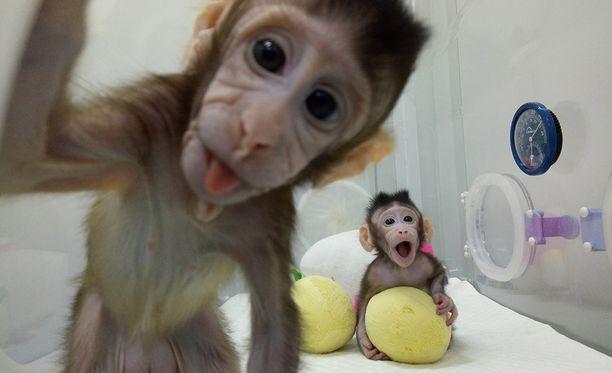 Kiinalaistutkijoiden mukaan uusia kloonattuja makaki-apinoita syntyy lisää lähiviikkoina.
