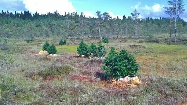 Kurjenrahkan suolta Turun lähettyviltä löytyi 27 kannabiskasvia, jotka oli istutettu multasäkkeihin.