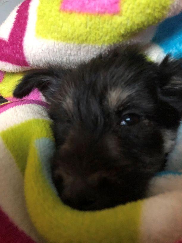 Mia Jussinniemen Venäjältä tuotu rescue-koira osoittautui penikkatautiseksi ja mahdollisesti myös rokottamattomaksi. Koira piti lopettaa vain muutama päivä Suomeen tulon jälkeen.