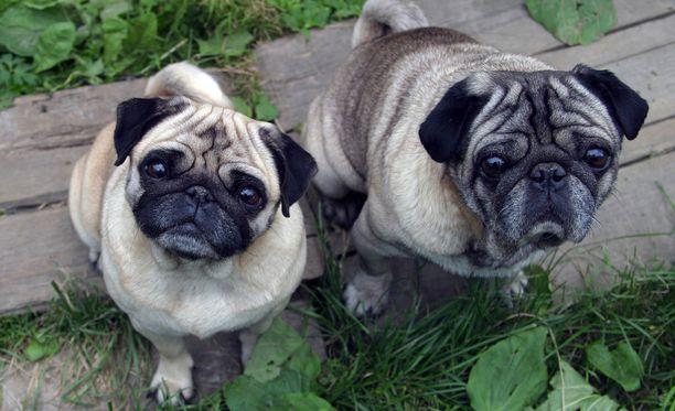 Lyhytkuonoisille koirille on kehitetty kävelytesti, jossa niiden tulee pystyä kävelemään tietty matka tietyssä ajassa ilman, että ne väsyvät. Kuvituskuvassa mopsi.