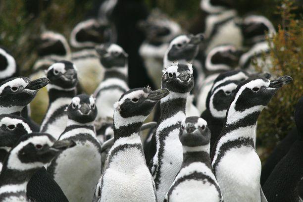 Punta Tombossa asustelee pesintäaikaan puolisen miljoonaa pingviiniä.