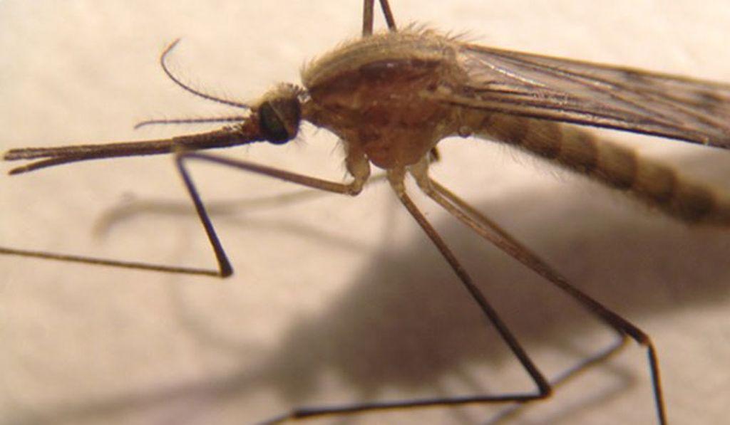 Uusi hyttyslaji on levinnyt ympäri Suomea: saattaa kyetä levittämään malariaa