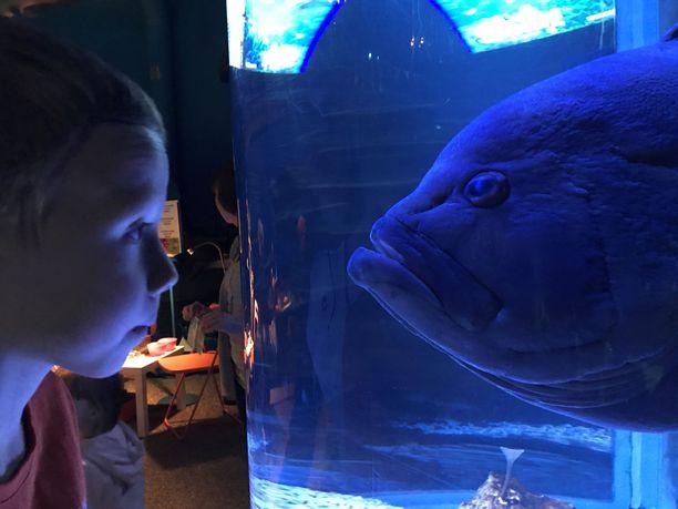 Mikko Meriahvenen tarina on yleinen: Se on tullut eläinkauppaan kymmensenttisenä sinttinä. Poikasen kasvaessa ei löydykään enää kotia, jossa se saisi olla riittävän suuressa altaassa. Lopulta siitä tulee taakka. Nykyisin Mikko on metrin mittainen ja painaa 15 kiloa. Kuvassa Mikko katsoo Sealifen nuorta asiakasta.