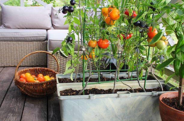 Eri tomaattilajikkeita voi kasvattaa rintarinnan. Ratkaisevaa on, että multaa ja valoa on riittävästi.