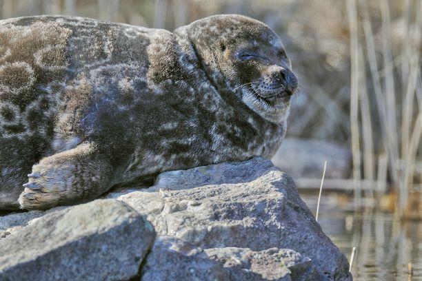 Saimaannorppa on yksi maailman harvinaisimmista hylkeistä. Laji tarvitsee suojelua vielä pitkään.