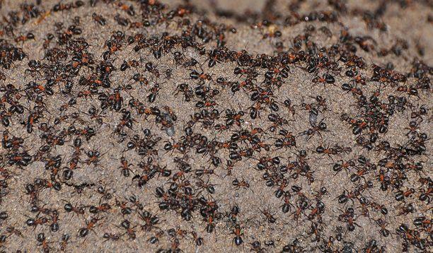 Tutkijat arvelivat, että muurahaisia eli bunkkerissa noin miljoona yksilöä.