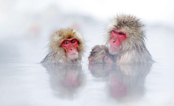 Japaninmakakit viihtyvät kuumissa lähteissä.