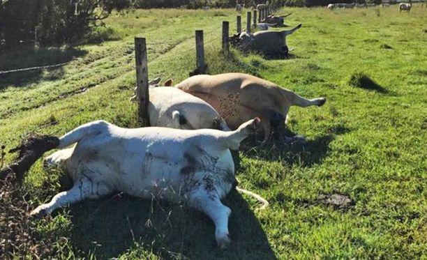 Kuolleet lehmät olivat suorassa rivissä aidan vieressä.
