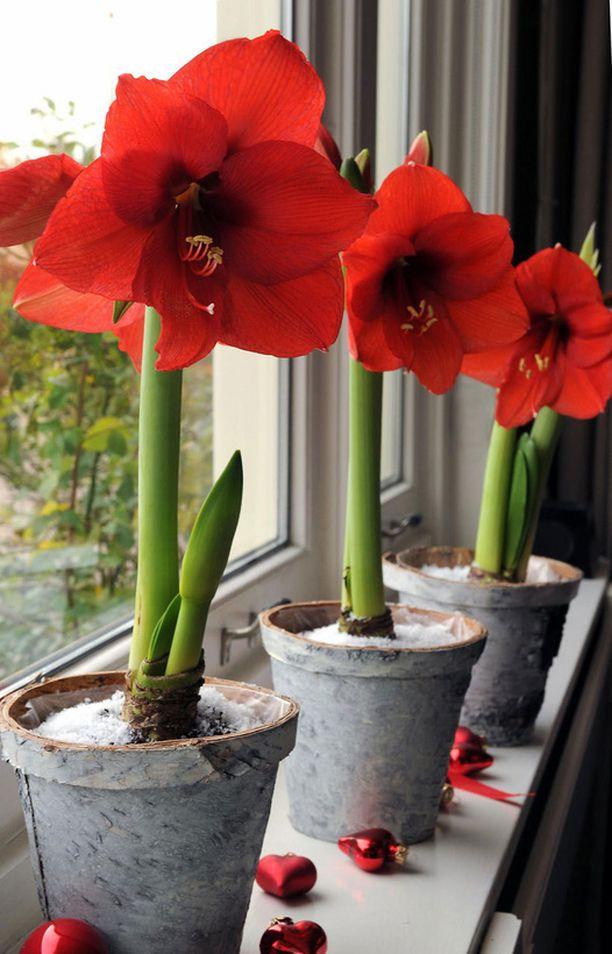 Ritarinkukka eli amaryllis on melko turvallinen valinta kaikkiin koteihin.