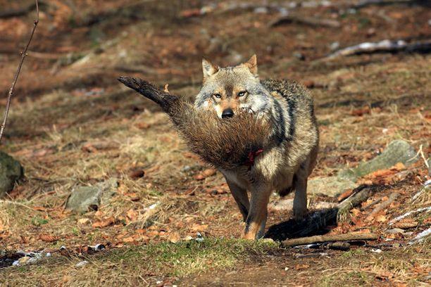 Saksalainen susi villisian jalka suussaan. Kuva vuodelta 2008.