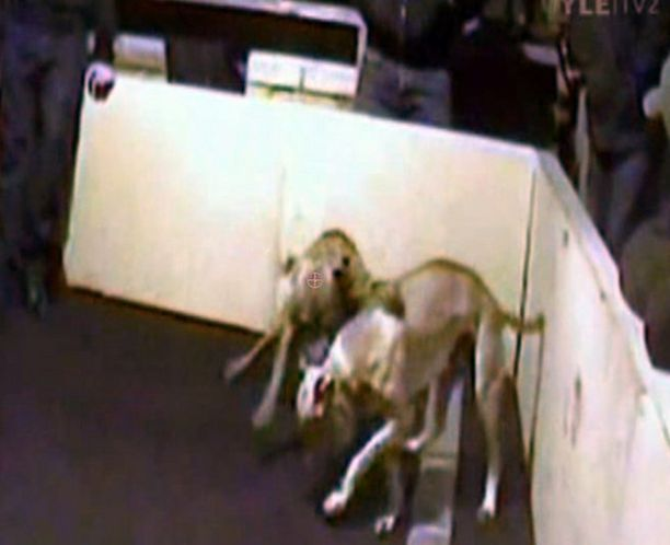 Koiratappelua Ypäjällä maaliskuussa 2007. Kuva koiratappelijoiden keskuuteen soluttautuneiden BBC:n toimittajien kuvaamasta videosta.