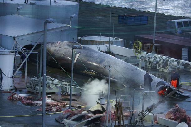 Aktivistiryhmä Sea Shepherd on raivostunut islantilaiselle valaanpyyntiyhtiölle. Ryhmän mukaan pyytäjät ovat tappaneet suojellun sinivalaan laittomasti.