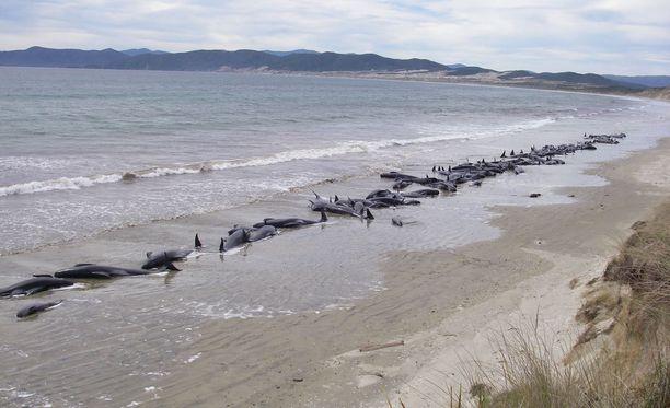 Uudessa-Seelannissa tapahtuu melko usein valaiden joukkorantautumisia. Kuva on Stewart Islandilta vuodelta 2011.