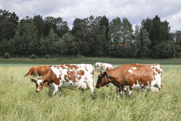 Lehmät säikähtivät perjantaina lähellä pyörinyttä dronea. Kuvituskuva.