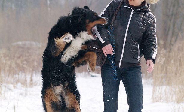 Toimitusjohtaja tiesi koiransa vaaralliseksi. Käräjäoikeuden mukaan hänen olisi tullut valvoa koiraansa myös silloin kun se oli pihalla kytkettynä. Kuvituskuvassa berninpaimenkoira, joka leikkii. Kuva ei liity tapaukseen.
