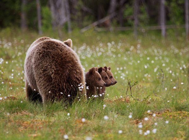 Valtteri Mulkahaisen portfolio palkittiin luontokuvien komediakilpailussa muutama päivä sitten. Tässä yksi palkittu kuva.