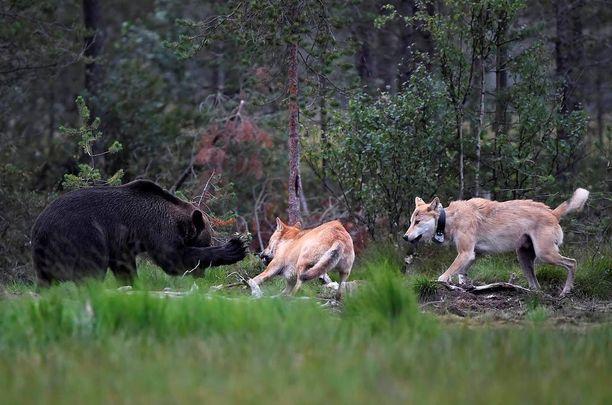 Englantilainen kuvaaja ikuisti kaksi viikkoa sitten Suomessa sattuneen susien ja karhujen välisen kohtaamisen upeisiin kuviin.