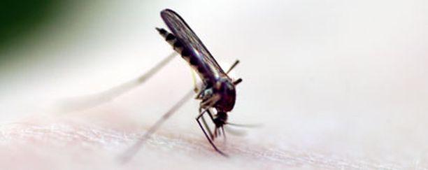 Toiset ihmiset joutuvat hyttysten uhriksi herkemmin kuin toiset.