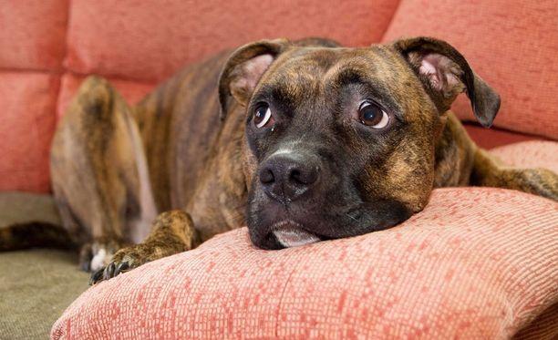 Koiran herkku ei ole ollenkaan aina sama kuin ihmisen herkku. Ei siis kannata horjua tällaisen katseen alla.
