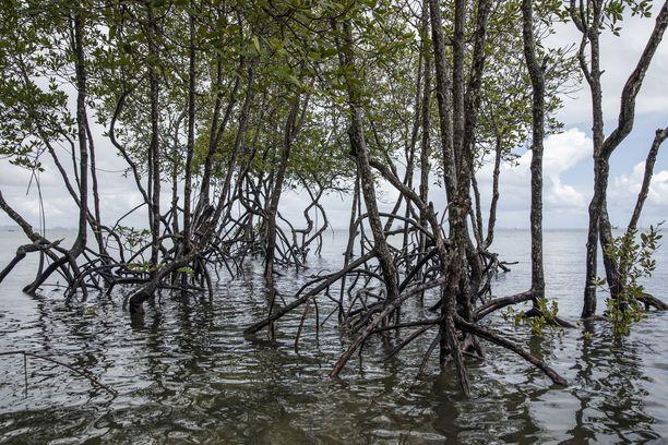Mangrovemetsien palauttaminen sitoo hiilidioksidia ja lieventää myrskytuhoja. Kuvassa mangrovemetsää Railayn rannalla Thaimaassa.