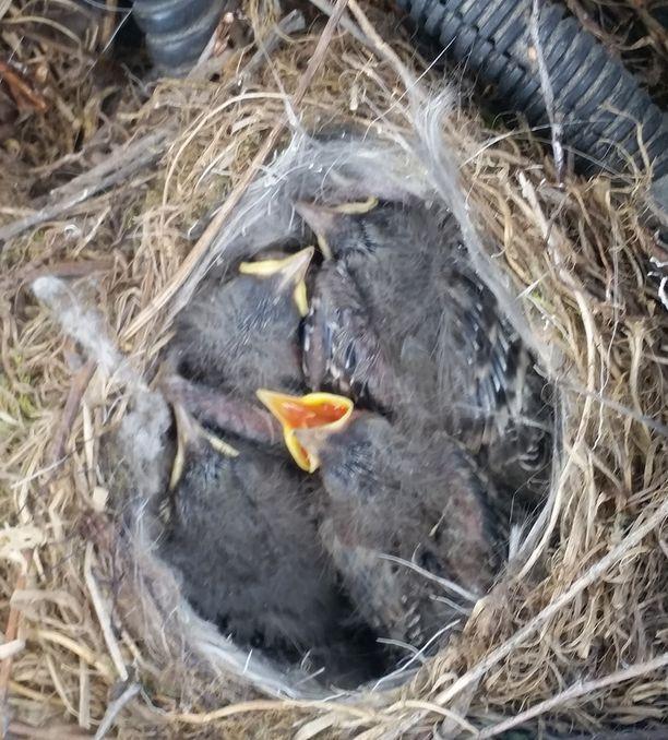 Västäräkin poikaset syntyivät konepellin sisälle viikko sitten.