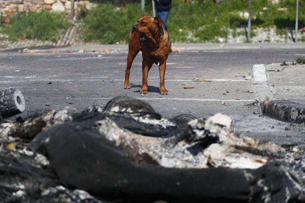 Koira odotteli omistajaansa vuosien ajan tien varrella Thaimaassa. Kuvituskuva.
