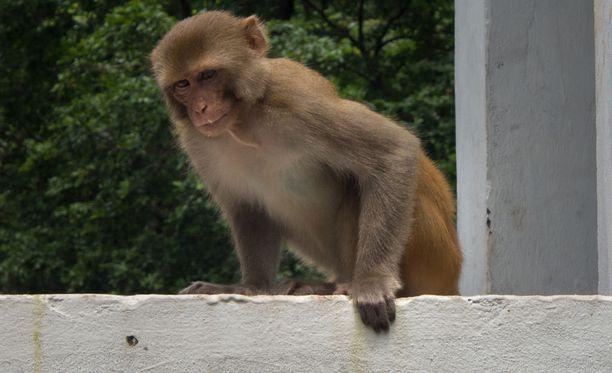 Apina aiheutti vaaratilanteen parkkipaikalla Intiassa.